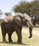Elefante di toro africano Fotografie Stock Libere da Diritti