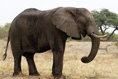 Elefante di toro africano enorme Fotografia Stock Libera da Diritti