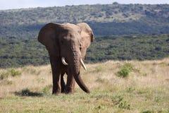Elefante di toro africano selvaggio che pasce Fotografia Stock