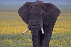 Elefante di toro che cammina verso noi immagine stock libera da diritti