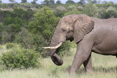 Elefante di toro che lancia tronco Fotografie Stock