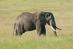 Elefante di toro da solo su Mara masai, Africa (Kenya) Fotografie Stock