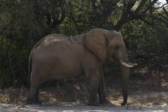 Elefante di toro Deserto-adattato Immagini Stock Libere da Diritti