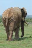 Elefante dietro Fotografia Stock