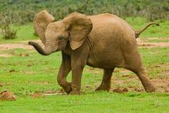 Elefante do bebê Fotografia de Stock Royalty Free