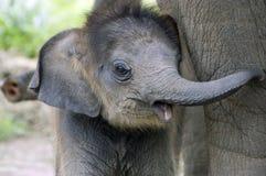 Elefante do bebê Imagem de Stock