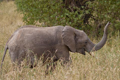 Elefante do bebê Fotos de Stock