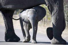 Elefante do bebê com matriz Imagens de Stock Royalty Free