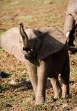 Elefante do bebê que actua resistente Fotos de Stock Royalty Free
