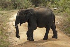 Elefante do bebê que cruza a estrada Fotos de Stock