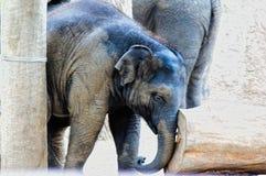 Elefante do bebê que empurra o log Foto de Stock
