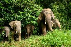 Elefante do pigmeu fotos de stock