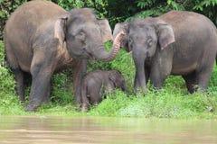 Elefante do pigmeu de Borneon Imagens de Stock Royalty Free