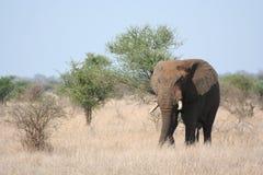 Elefante domandantesi Fotografia Stock Libera da Diritti