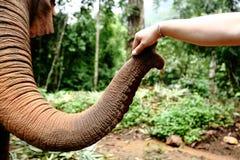 Elefante domesticado na floresta profunda da selva para o turismo imagens de stock royalty free