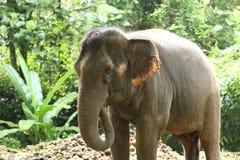 Elefante domesticado na floresta profunda da selva para o turismo imagens de stock