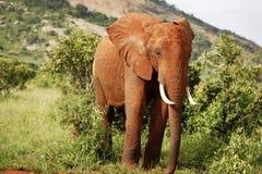 Elefante dominante Foto de archivo libre de regalías