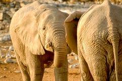 Elefante dos Fotografía de archivo libre de regalías