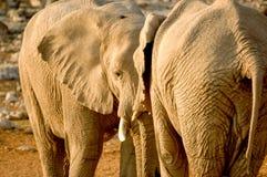 Elefante dos Imagen de archivo libre de regalías