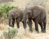 Elefante dos que coloca 3/4 visión que pasta Imagen de archivo