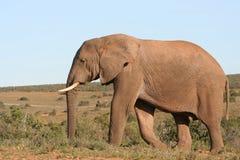 Elefante e cielo blu Fotografie Stock Libere da Diritti