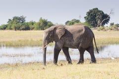 Elefante e fiume Immagini Stock