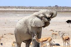 Elefante e gazzella nel parco Namibia di Etosha Fotografie Stock