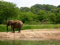 Elefante e giraffe Immagini Stock Libere da Diritti