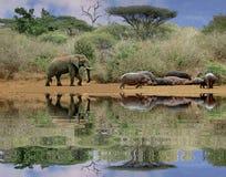 Elefante e hipopótamos Imagem de Stock Royalty Free