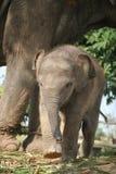 Elefante e mãe asiáticos do bebê O elefante é um animal dos animais selvagens mas são muito bonitos foto de stock royalty free