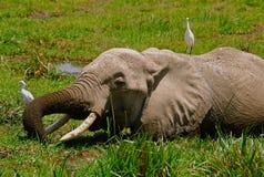 Elefante e pássaros Kenya fotografia de stock