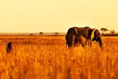 Elefante e savana Fotografie Stock