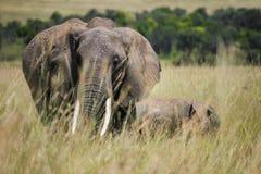Elefante e um elefante do bebê que anda junto através da grama alta no parque nacional de Maasai Mara (Kenya) Foto de Stock Royalty Free