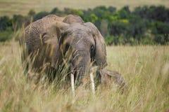Elefante e um elefante do bebê que anda junto através da grama alta no parque nacional de Maasai Mara (Kenya) Imagem de Stock Royalty Free