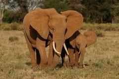 Elefante e vitela Fotografia de Stock