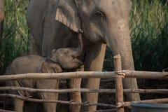Elefante e vitela Foto de Stock