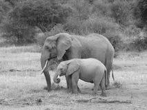 Elefante e vitello Fotografie Stock