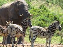 Elefante e zebras em África Fotografia de Stock