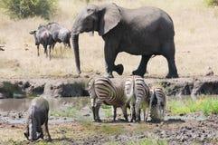 Elefante e zebre Fotografia Stock