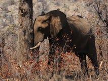 Elefante el dormir fotos de archivo libres de regalías