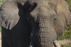 Elefante em África do Sul Foto de Stock Royalty Free