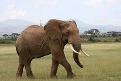 Elefante em Amboseli Kenia fotografia de stock