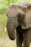 Elefante em Bush em África do Sul Foto de Stock