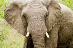 Elefante em Bush em África do Sul Fotografia de Stock