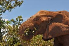 Elefante em comer fotografia de stock