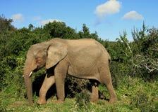 Elefante em mais forrest Fotos de Stock