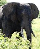 Elefante em Tarangire, Tanzânia Fotos de Stock Royalty Free