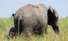 Elefante em Tarangire, Tanzânia Fotos de Stock