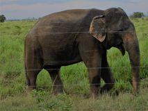Elefante em Udawalawe Sri Lanka imagens de stock royalty free