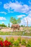 Elefante em um jardim zoológico Imagens de Stock Royalty Free